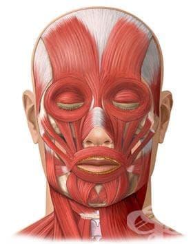 Мускули на главата (musculi capitis) - изображение
