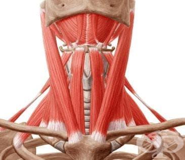 Мускули на шията (musculi colli) - изображение