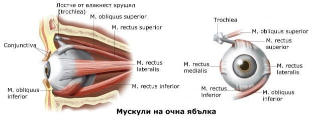 Мускули на очната ябълка (musculi bulbi) - изображение