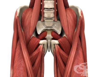 Мускули около тазобедрената става (musculi coxae) - изображение