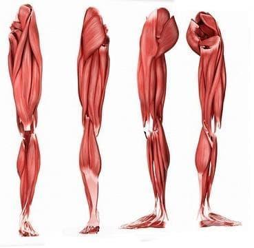 Мускули на долния крайник (musculi membri inferioris) - изображение