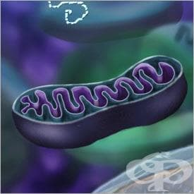 Митохондрии (Mitochondrion) - изображение