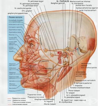 Лицев нерв (nervus facialis) - изображение