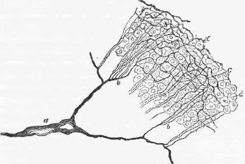 Хистологично устройство на ганглийте, нервите и нервните окончания - изображение