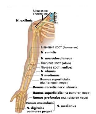 Нерви на свободния горен крайник (nervi membri superioris) - изображение