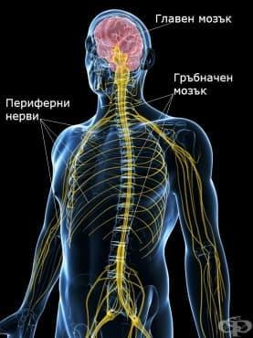Нервна система (Systema neurosum) - изображение