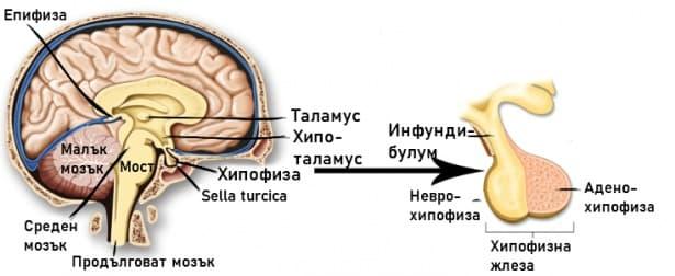 Невроендокринна система - изображение
