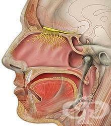 Обонятелен нерв (nervus olfactorius) - изображение