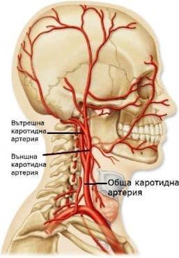 Обща сънна артерия (arteria carotis communis) - изображение