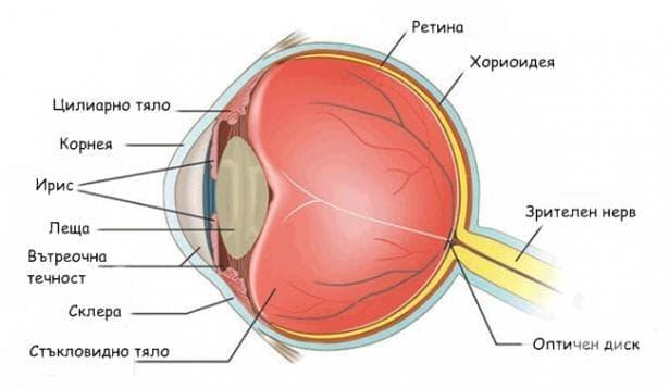 Очна ябълка (Bulbus oculi) - изображение
