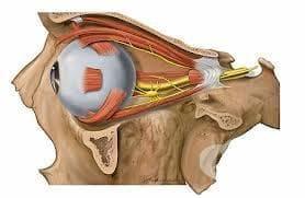 Очедвигателен нерв (nervus oculomotorius) - изображение