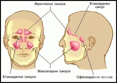 Околоносни кухини (sinus paranasales) - изображение