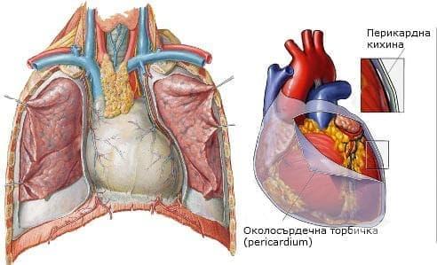 Околосърдечна торбичка (pericardium) - изображение
