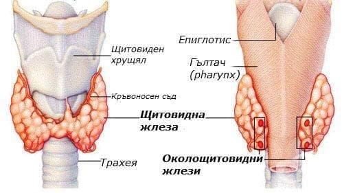 Околощитовидни жлези (glandulae parathyroideae) - изображение