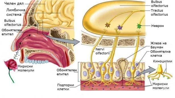 Орган на обонянието (Organum olfactus) - изображение