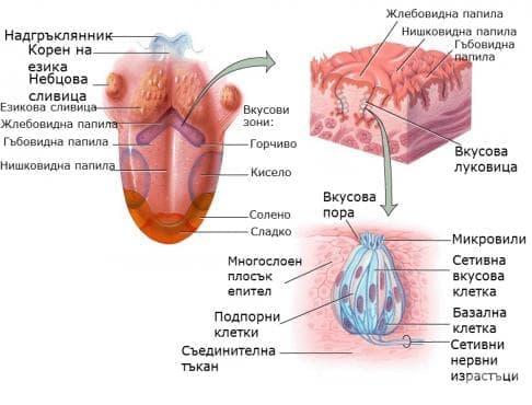 Орган на вкуса (Organum gustus) - изображение