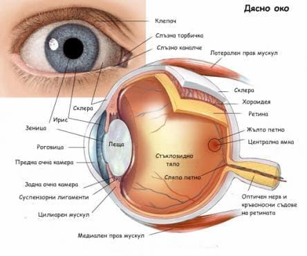 Орган на зрението - око (oculus) - изображение