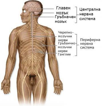 Организация на нервната система - изображение