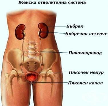 Отделителна система (systema urinaria) - изображение