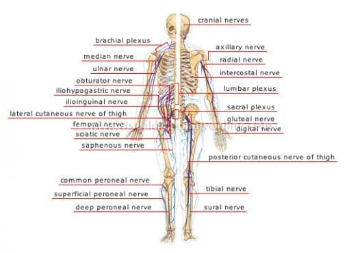 Периферна нервна система (Systema nervorum perifericum) - изображение