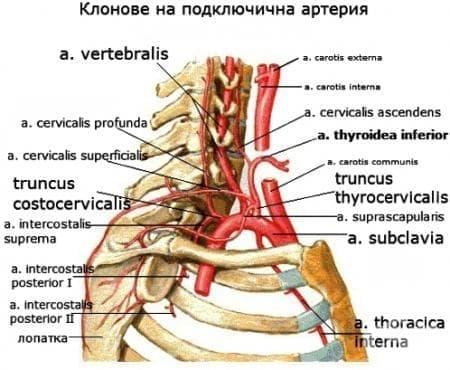 Подключична артерия (arteria subclavia) - изображение