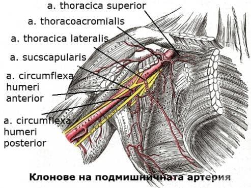 Подмишнична артерия (arteria axillaris) - изображение