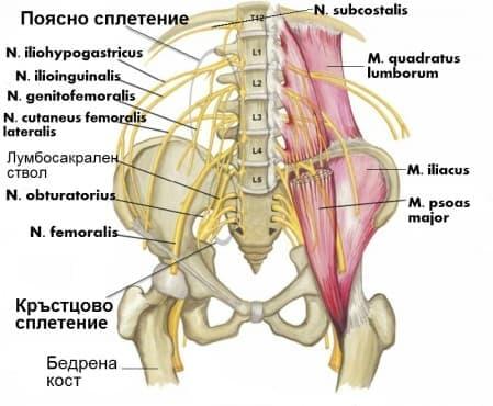 Поясно сплетение (plexus lumbalis) - изображение
