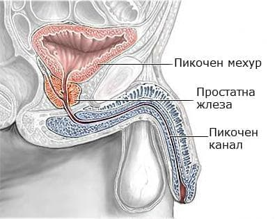 Простатна жлеза (glandula prostata) - изображение