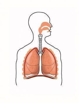 Устройство на дихателната система - изображение