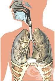 Дихателна система (Apparatus respiratorius) - изображение