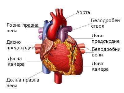 Сърце (cor (cardia)) - изображение