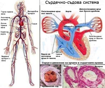 Сърдечносъдова система (Systema cardiovasculare) - изображение