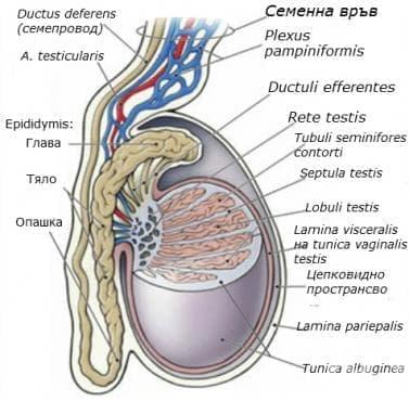 Семенник (testis) - изображение