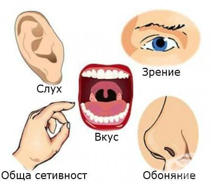 Сетивни органи (Organa sensum) - изображение
