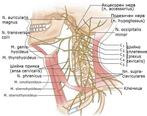 Шийно сплетение (plexus cervicalis) - изображение