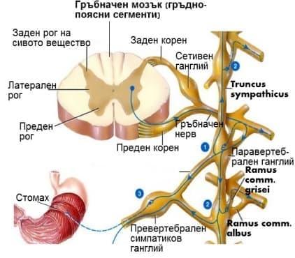 Симпатикова част (Systema nervosum sympathicum) - изображение