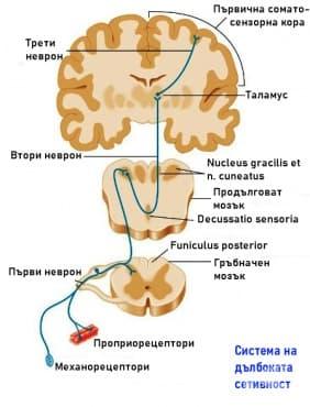 Система на дълбоката сетивност и интерорецепцията - изображение