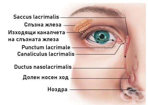 Слъзен апарт (Apparatus lacrimalis) - изображение
