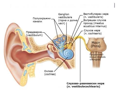 Слухово-равновесен нерв (nervus vestibulocochlearis) - изображение