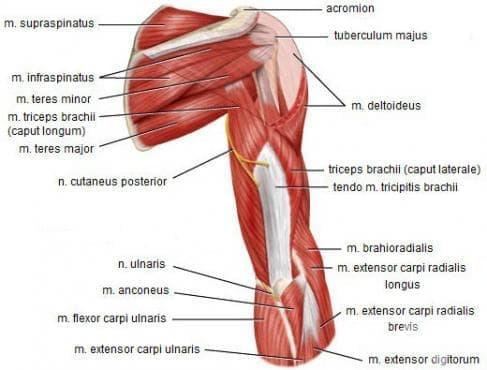 Собствени мускули на раменния пояс (mm. cinguli membri superioris) - изображение