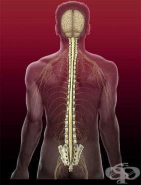 Хистологично устройство на гръбначния мозък - изображение