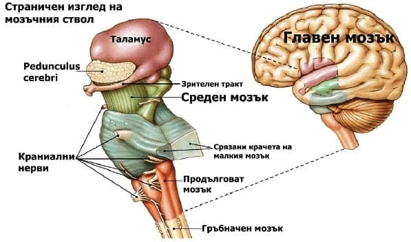 Среден мозък (Mesencephalon) - изображение