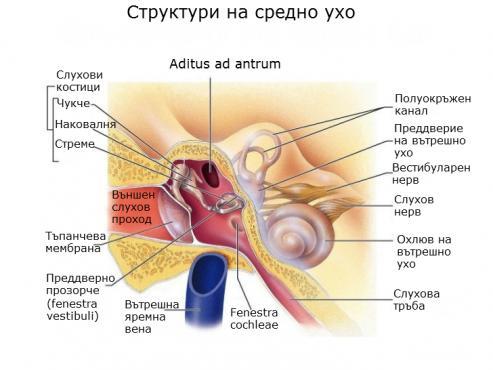 Средно ухо (Auris media) - изображение