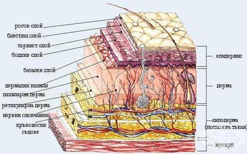 Строеж на кожата - изображение