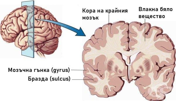 Структура на кората на крайния мозък - изображение