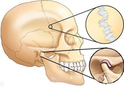 Свързвания на черепа (juncturae cranii) - изображение