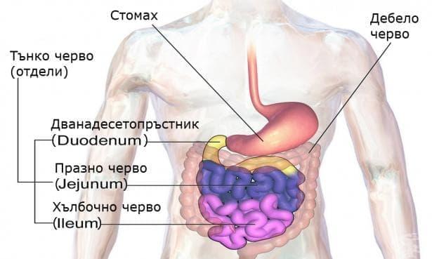 Тънко черво (intestinum tenue) - изображение