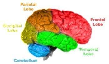 Краен мозък (Telencephalon, Cerebrum) - изображение