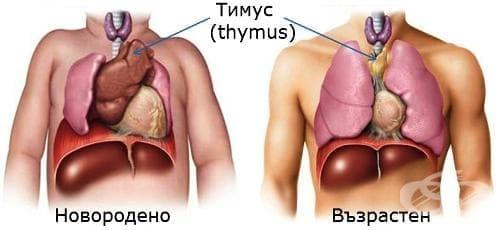 Тимус (thymus) - изображение
