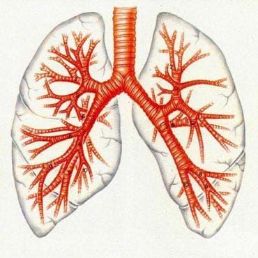 Дихателна тръба и бронхи (trachea et bronchi) - изображение